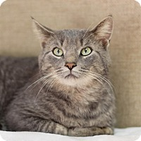 Domestic Shorthair Cat for adoption in Midland, Michigan - Tick Tock