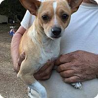 Chihuahua Dog for adoption in Williamsburg, Virginia - HAUS