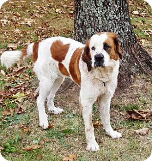 St. Bernard Mix Puppy for adoption in Oswego, Illinois - Jewelz