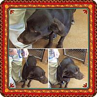 Adopt A Pet :: Koko - Baltimore, MD
