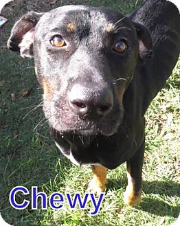 Rottweiler Mix Dog for adoption in Georgetown, South Carolina - Chewy