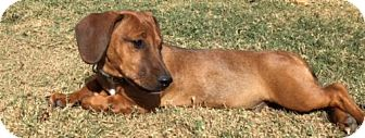 Dachshund Mix Puppy for adoption in Olive Branch, Mississippi - Oscar
