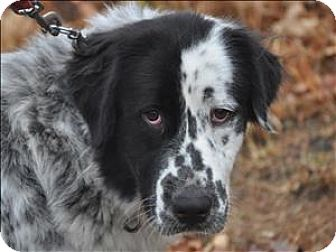 Great Pyrenees Mix Dog for adoption in Osage Beach, Missouri - Snoopy