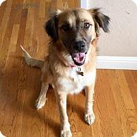 Adopt A Pet :: Shirin - San Jose, CA
