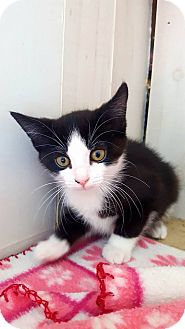 Colorpoint Shorthair Cat for adoption in Fairmont, West Virginia - Ethel