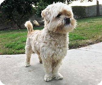 Shih Tzu/Poodle (Miniature) Mix Dog for adoption in Lathrop, California - Rocco