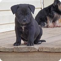 Adopt A Pet :: Prancer - Matthews, NC