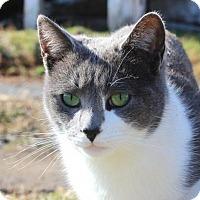 Adopt A Pet :: Samosa - Harrisonburg, VA