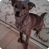 Chihuahua/Terrier (Unknown Type, Medium) Mix Puppy for adoption in Inver Grove, Minnesota - Chico
