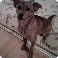 Adopt A Pet :: Chico - Inver Grove, MN