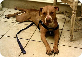American Pit Bull Terrier Mix Dog for adoption in Nashua, New Hampshire - Nathalie