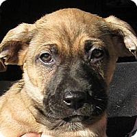 Adopt A Pet :: Baby Ivy - Oakley, CA