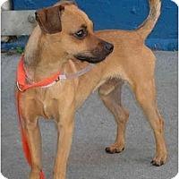 Adopt A Pet :: Gigabyte - San Francisco, CA