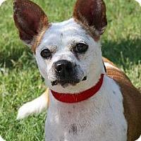 Adopt A Pet :: Jovie - Richardson, TX