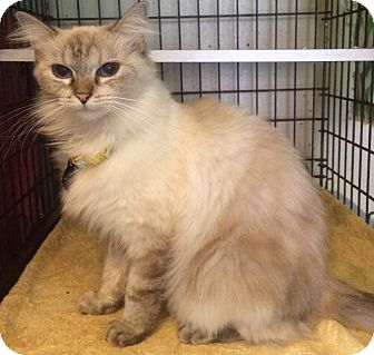 Domestic Mediumhair Cat for adoption in Houston, Texas - Miss Kitty