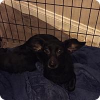 Adopt A Pet :: Rainy - Henderson, NV