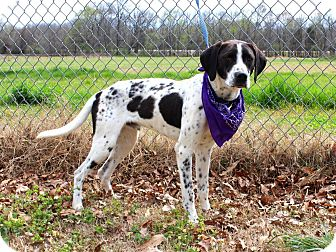 Pointer Mix Dog for adoption in Muldrow, Oklahoma - Frasier