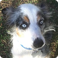 Adopt A Pet :: Sophie Blue - Dallas, TX