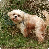 Shih Tzu Mix Dog for adoption in Houston, Texas - Almond Harris