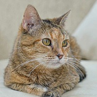 Adopt A Pet :: Amber - FIV positive - Reston, VA