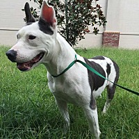 Terrier (Unknown Type, Medium) Mix Dog for adoption in Summerville, South Carolina - Sushi