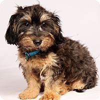 Adopt A Pet :: Timothy Terrier - St. Louis, MO