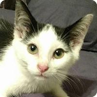 Domestic Shorthair Kitten for adoption in Bruce Township, Michigan - Bug-z