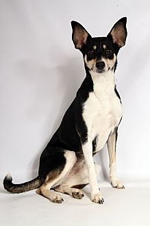 Rat Terrier Mix Dog for adoption in St. Louis, Missouri - Skyler Girl TerrierMix