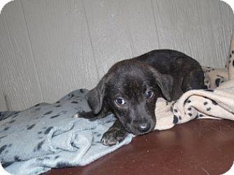 Labrador Retriever/Pit Bull Terrier Mix Puppy for adoption in Clarksville, Arkansas - Little Linda