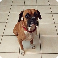 Boxer Dog for adoption in Austin, Texas - Miss Pepper