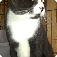 Domestic Shorthair Cat for adoption in Staten Island, New York - Lou