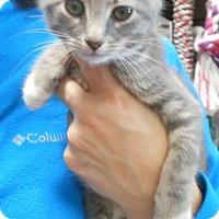 Adopt A Pet :: Laila - Reston, VA