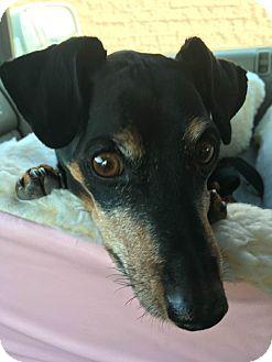 Miniature Pinscher Dog for adoption in Denver, Colorado - Sprocket