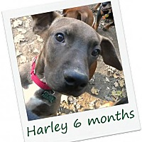 Labrador Retriever/Vizsla Mix Dog for adoption in Hinesburg, Vermont - Harley