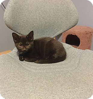 Domestic Shorthair Kitten for adoption in Mooresville, North Carolina - A..  Teagan