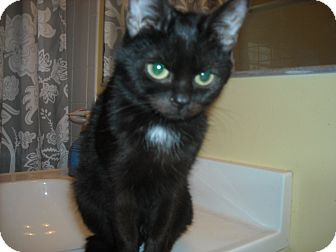 Domestic Shorthair Cat for adoption in Arlington, Virginia - Mini-Max -Adoption Pending