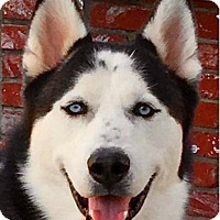Siberian Husky Dog for adoption in Rancho Mirage, California - SKYLAR