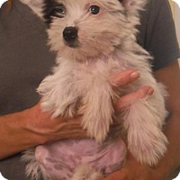 Chinese Crested/Chinese Crested Mix Puppy for adoption in Flanders, New Jersey - Prissy