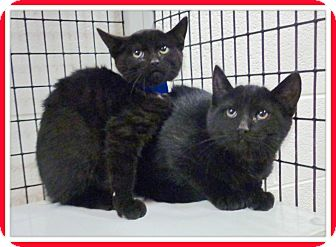 Domestic Shorthair Kitten for adoption in Marietta, Georgia - CASPER & CARBON