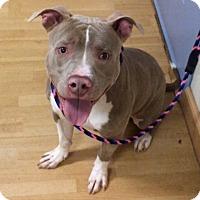 Adopt A Pet :: Brando in CT - Manchester, CT