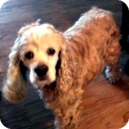 Cocker Spaniel Mix Dog for adoption in Sacramento, California - Tucker