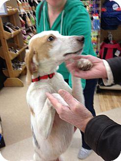Hound (Unknown Type) Mix Dog for adoption in Richmond, Virginia - Heinz