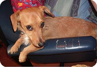 Dachshund Mix Dog for adoption in Hamilton, Ontario - Tara