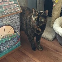 Domestic Shorthair Cat for adoption in Royal Palm Beach, Florida - Cookie