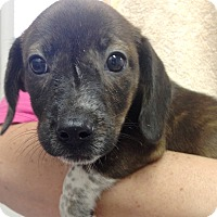 Adopt A Pet :: DOXIE BRINDLE GIRL PUP - Pompton Lakes, NJ
