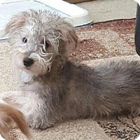Adopt A Pet :: Chula - Las Vegas, NV