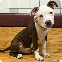 Adopt A Pet :: Chevy - Bristol, CT