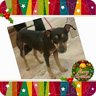 Manchester Terrier Mix Dog for adoption in Naples, Florida - Jingle Bell Betsy