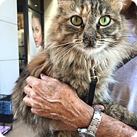 Domestic Longhair Cat for adoption in Scottsdale, Arizona - Daphne