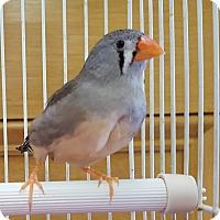 Adopt A Pet :: Zippy - Grandview, MO